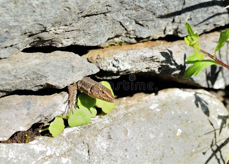 Ящерица в скалистом Crevice на португальском острове стоковое изображение rf
