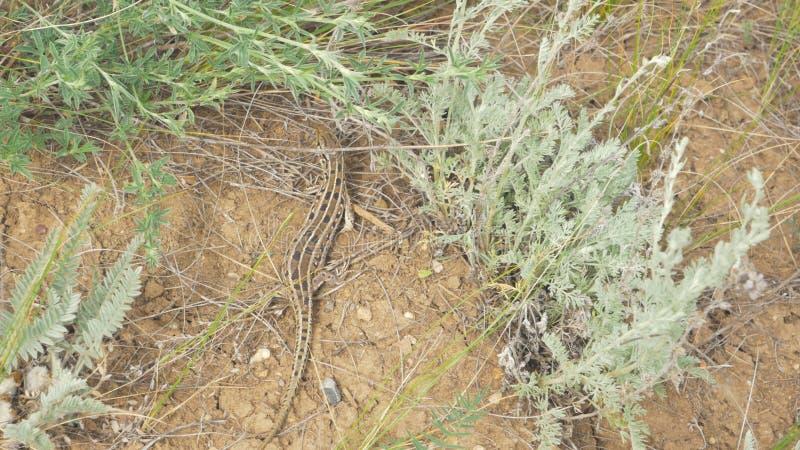 Ящерица в траве Трава на ящерице, стрельбе телеобъектива Голубая и зеленая ящерица ослабляет в траве стоковые фотографии rf