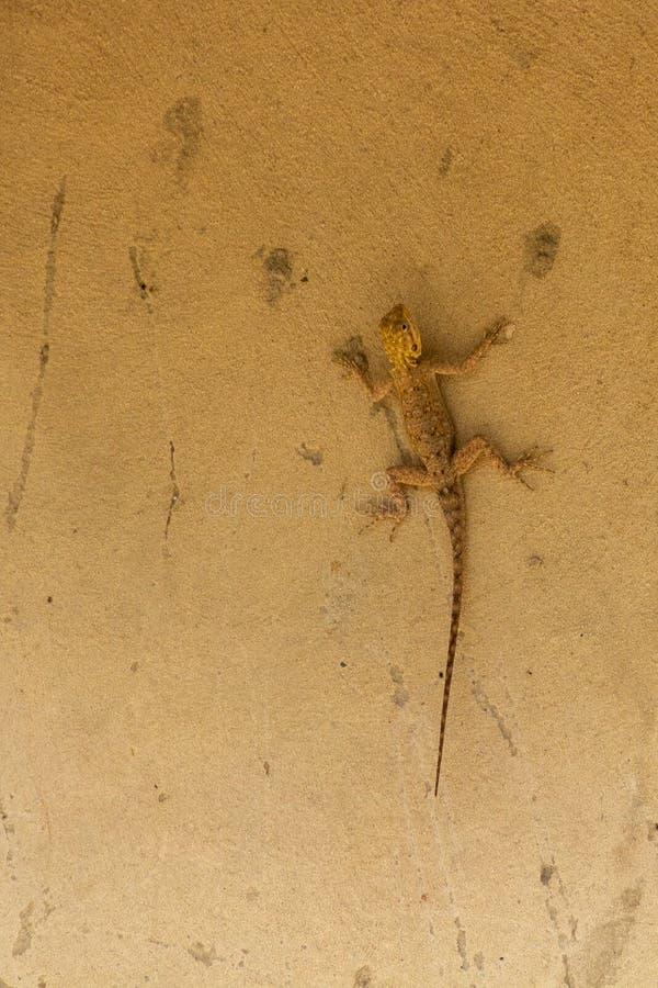 Ящерица Гамбии стоковые изображения
