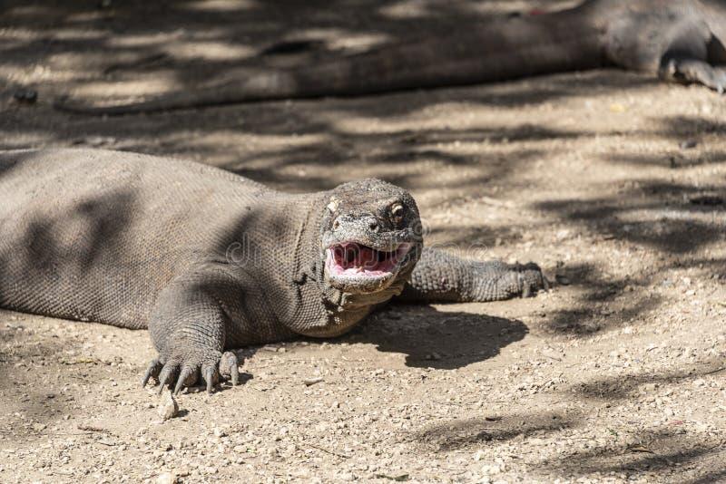 Ящерица дракона Komodo Эндемичный дикий хищник Охотиться хладнокровный агрессивный дракон стоковые фотографии rf