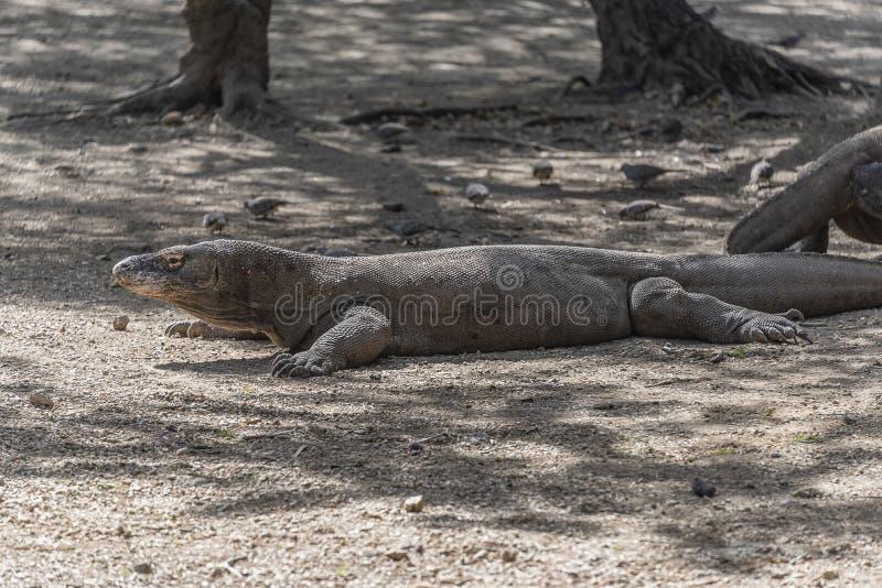 Ящерица дракона Komodo Эндемичный дикий хищник Охотиться хладнокровный агрессивный дракон стоковое изображение