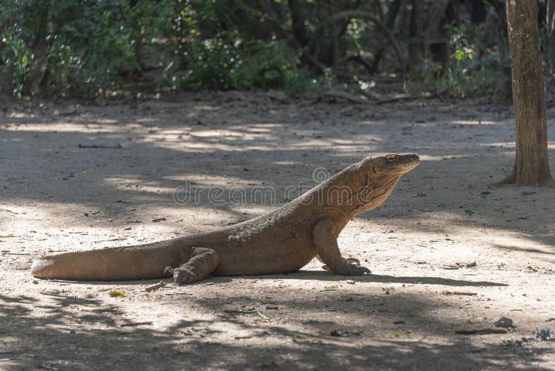Ящерица дракона Komodo Эндемичный дикий хищник Охотиться хладнокровный агрессивный дракон стоковые фото