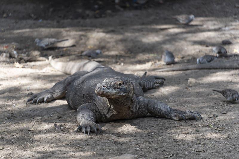 Ящерица дракона Komodo Эндемичный дикий хищник Охотиться хладнокровный агрессивный дракон стоковое фото rf