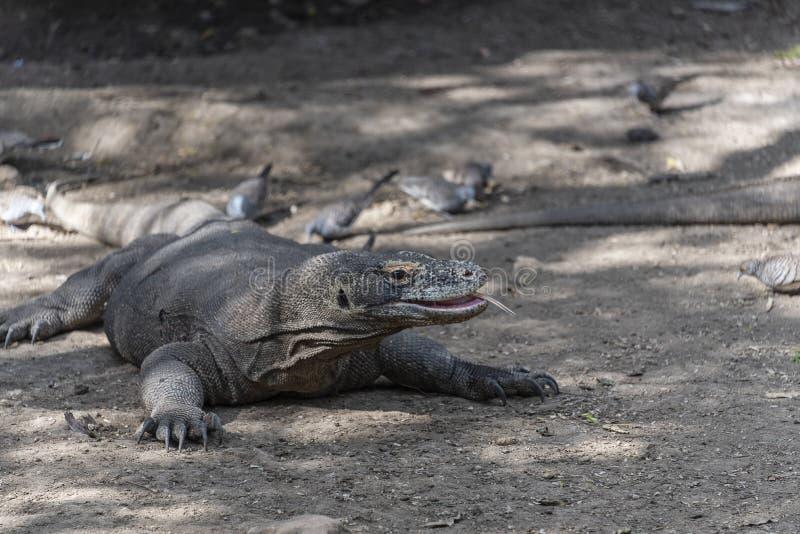 Ящерица дракона Komodo Эндемичный дикий хищник Охотиться хладнокровный агрессивный дракон стоковая фотография