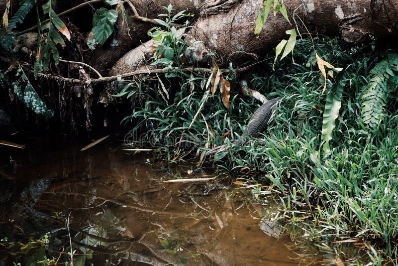 Ящерица монитора воды псевдонима salvator Varanus азиатская входя в малый поток в середине тропического леса Борнео стоковое фото