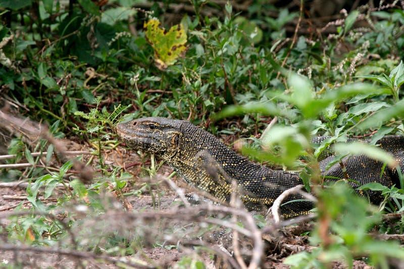 Ящерица монитора в Танзании стоковое изображение