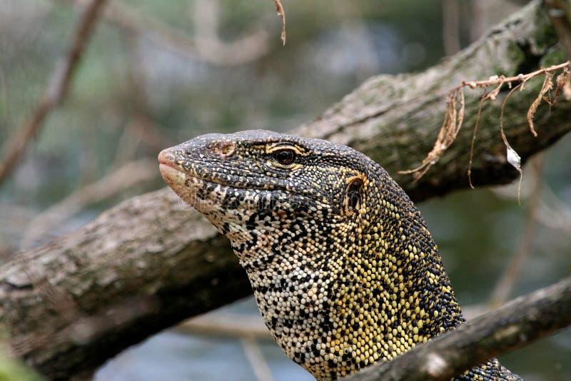 Ящерица монитора в Танзании стоковые изображения rf