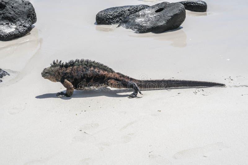 Ящерица моря на утесе на пляже стоковые изображения