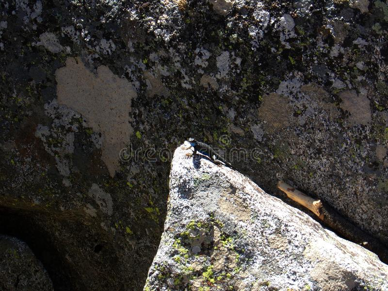 Ящерица на верхней части утеса со своей текстурой твердой скалы - национального парка Moro секвойи стоковая фотография rf