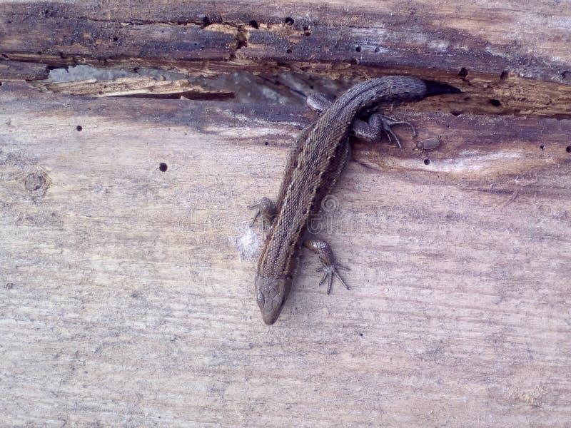 Ящерица на досках стоковое изображение