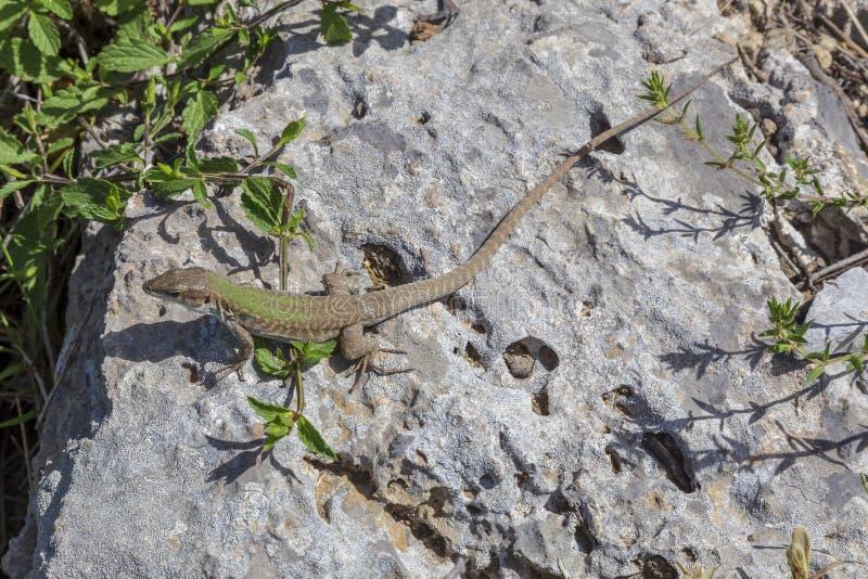 Ящерица на камне на пути бога вызвала Sentiero Degli Dei на побережье Амальфи стоковая фотография rf
