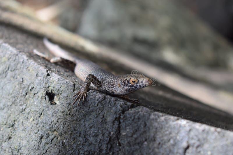 Ящерица на Фернандо de Noronha стоковая фотография