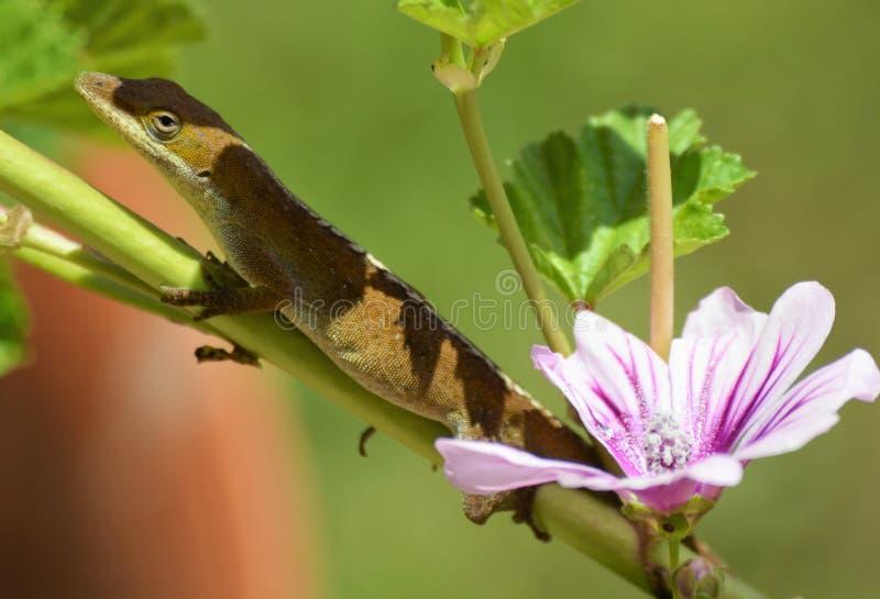 Ящерица на цветке стоковая фотография