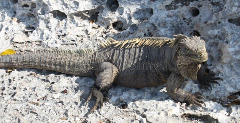 ящерица острова игуаны Кубы большая стоковые фото