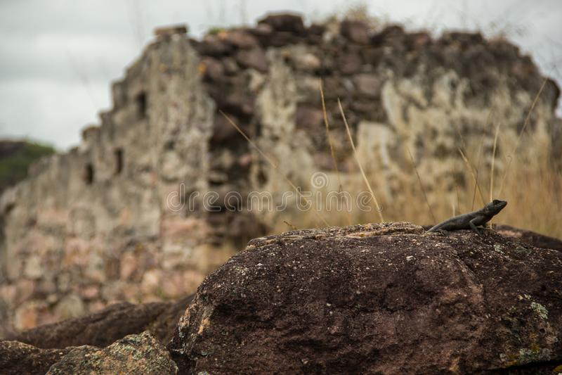 Ящерица перед руинами в Igatu, Chapada Diamantina стоковое изображение rf