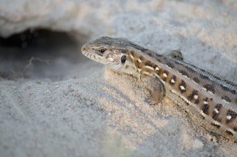 Ящерица песка стоковая фотография rf