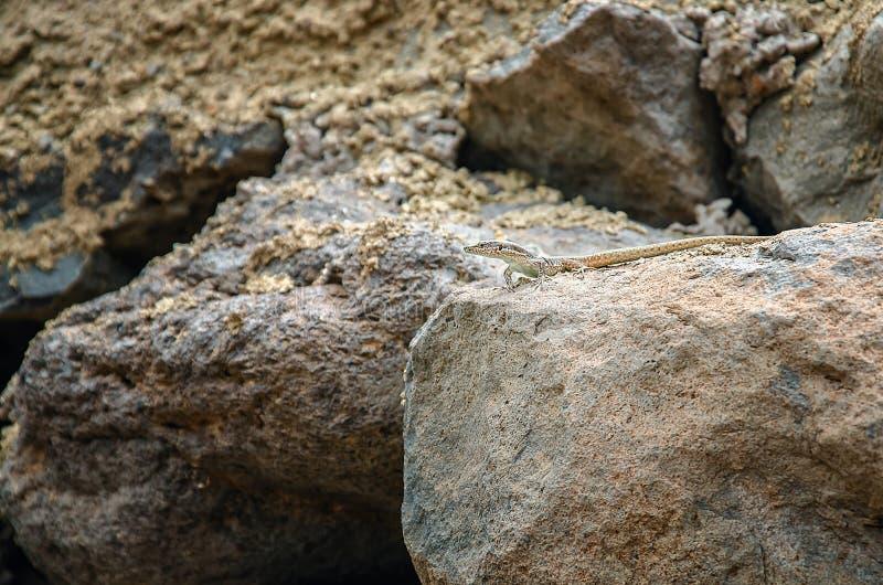 Ящерица покрашенная песком стоковая фотография rf