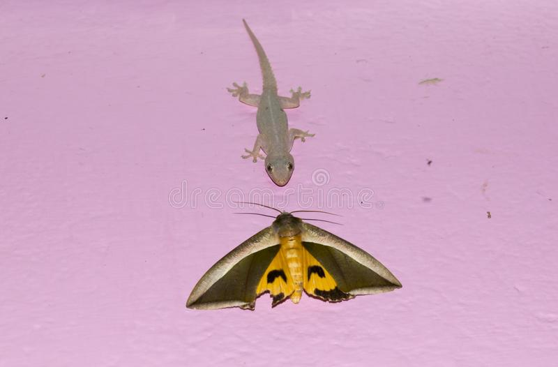 ящерица против сумеречницы около для боя звероловства на стене ест лицом к лицу стоковое изображение rf