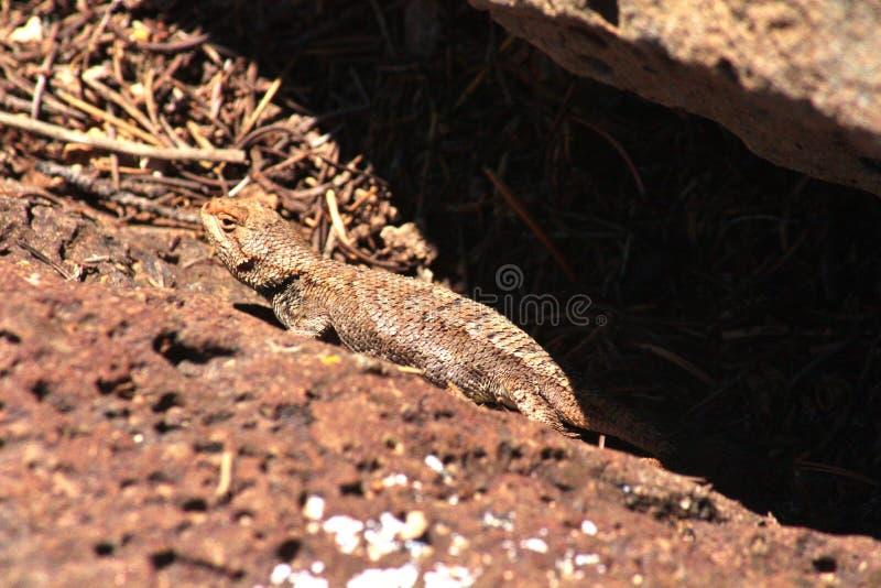 ящерица пустыни spiny стоковая фотография rf