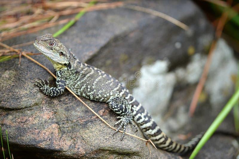 Download Ящерица дракона стоковое изображение. изображение насчитывающей остальные - 40588921