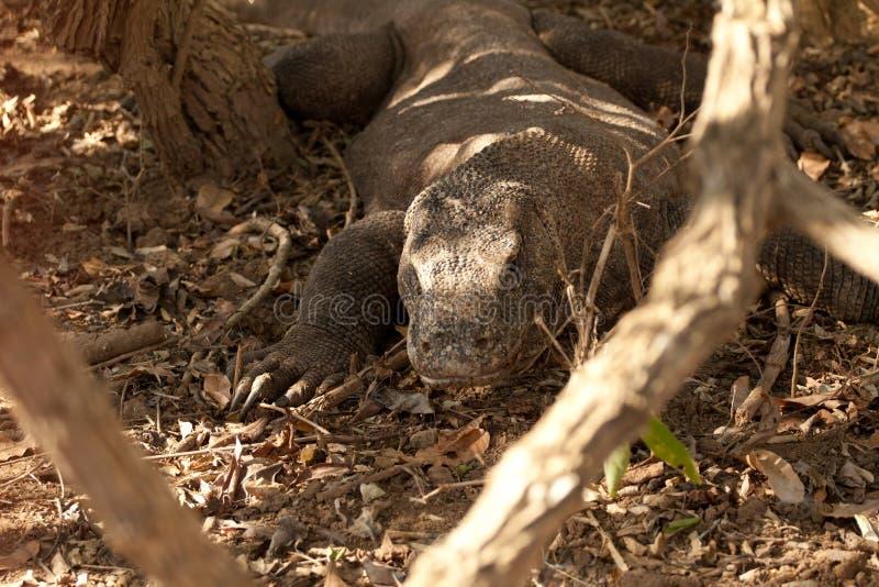 Ящерица дракона Komodo самая большая на национальном парке Индонезия стоковое изображение