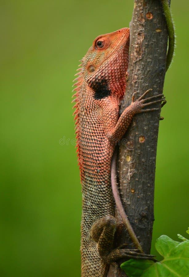 Ящерица сада отдыхая на дереве стоковые фотографии rf