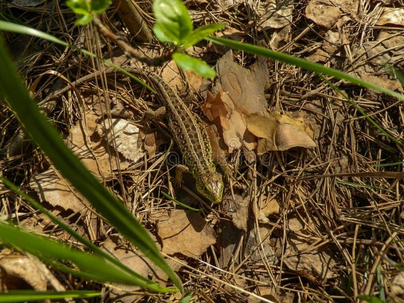 Ящерица стоковое фото rf