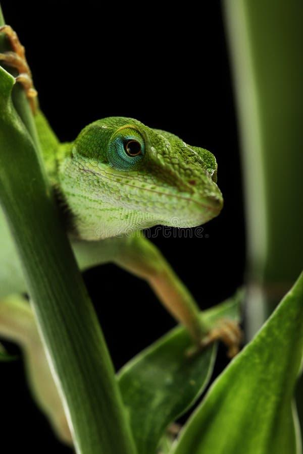ящерица anole стоковая фотография rf