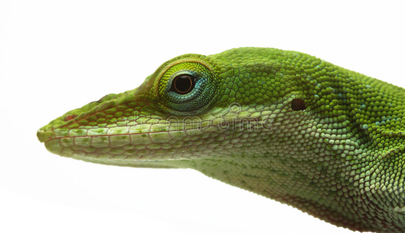 ящерица anole стоковое фото rf