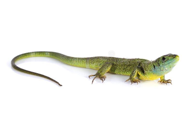 Ящерица Bilineata стоковое изображение