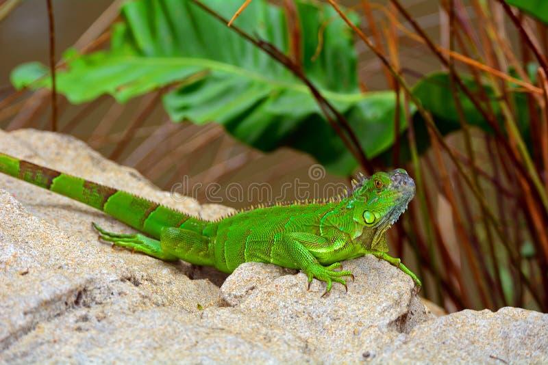 Ящерица crested зеленым цветом (cristatella Bronchocela) стоковое фото rf