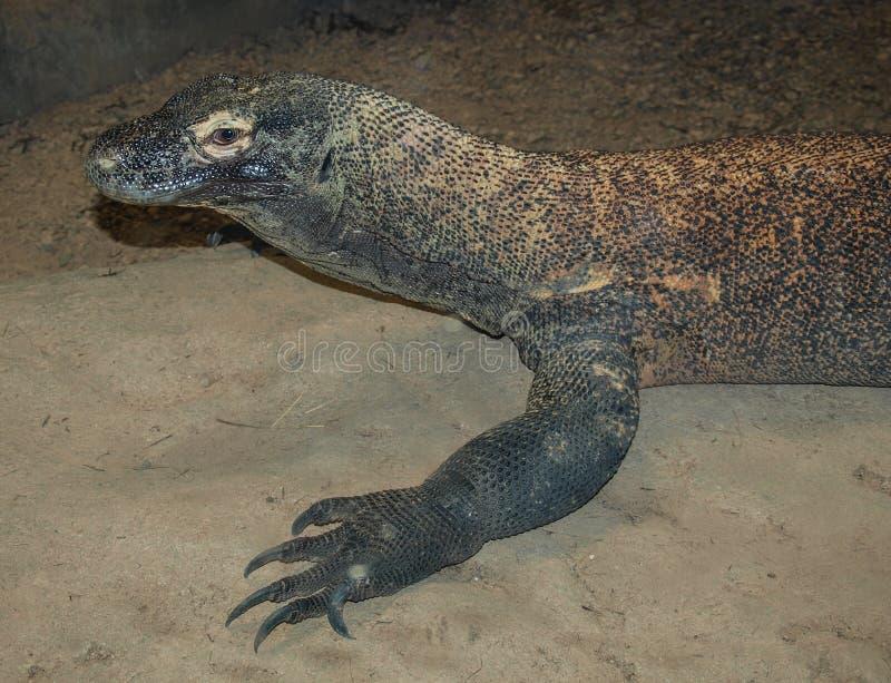 Ящерица Komodoensis Varanus дракона Komodo стоковая фотография