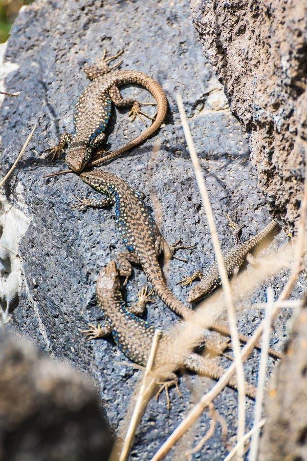 4 ящерицы загорая на камнях озером 7 в Армении стоковое фото rf