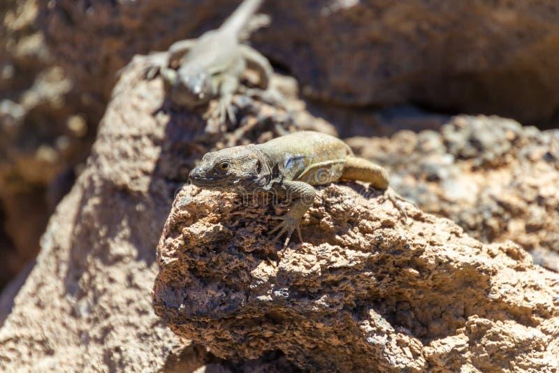 Ящерицы Тенерифе на держателе Teide стоковая фотография rf