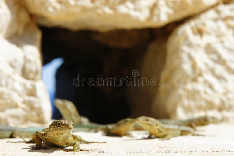 ящерицы стоковые фотографии rf