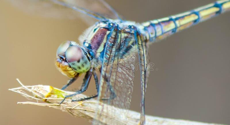 Я dragonfly, стоковые фото