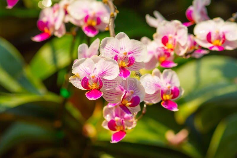 ฺBeautiful розовые орхидеи стоковое фото