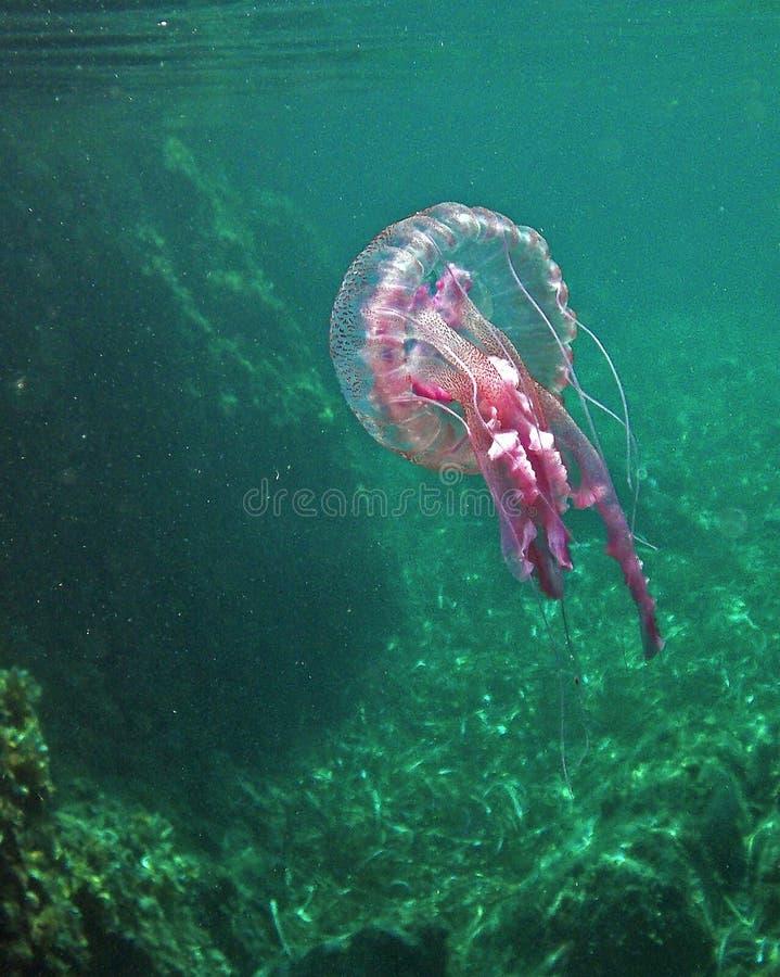 '佩拉贾夜光虫'jellifish在地中海在厄尔巴岛海岛 免版税库存照片