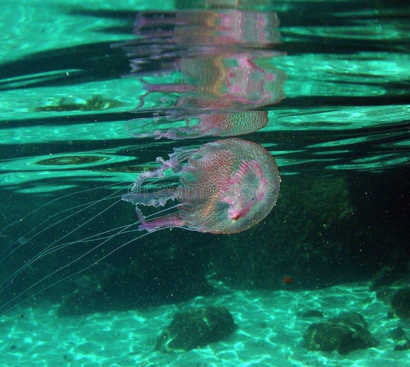'佩拉贾夜光虫'jellifish在地中海在厄尔巴岛海岛 库存照片