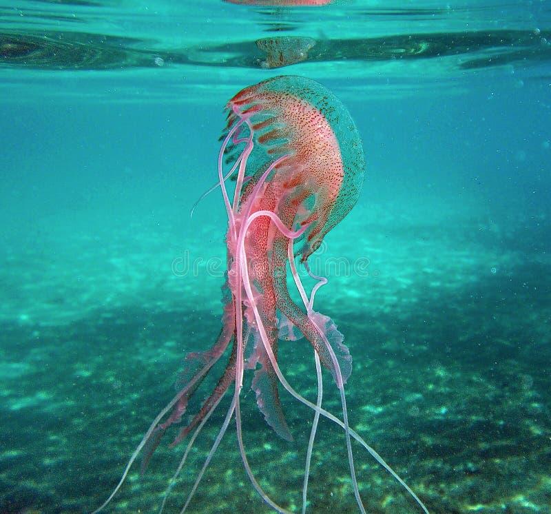 '佩拉贾夜光虫'jellifish在地中海在厄尔巴岛海岛 免版税库存图片