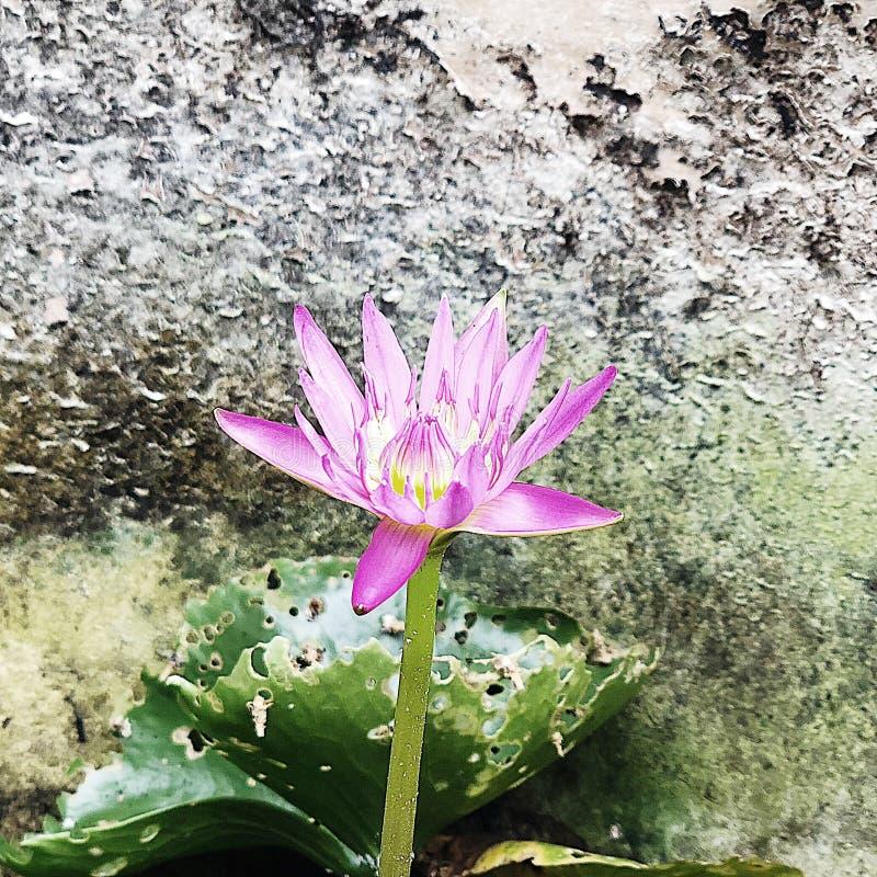 '单独,而是不孤独的'莲花没有显然地说 库存照片