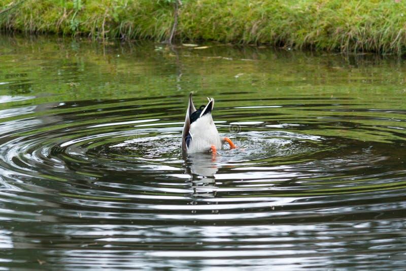'在动物园里基于'搜寻食物的鸭子 免版税库存图片