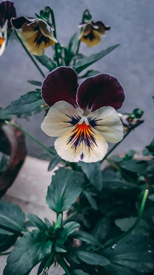 '美丽的蝴蝶花'- 免版税库存图片