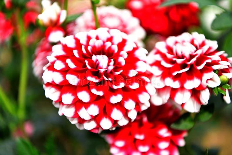 'E do wspaniaÅ do 'e do cultorumrozkwitÅ da dália x do jardim das dálias kwiaty fotos de stock royalty free