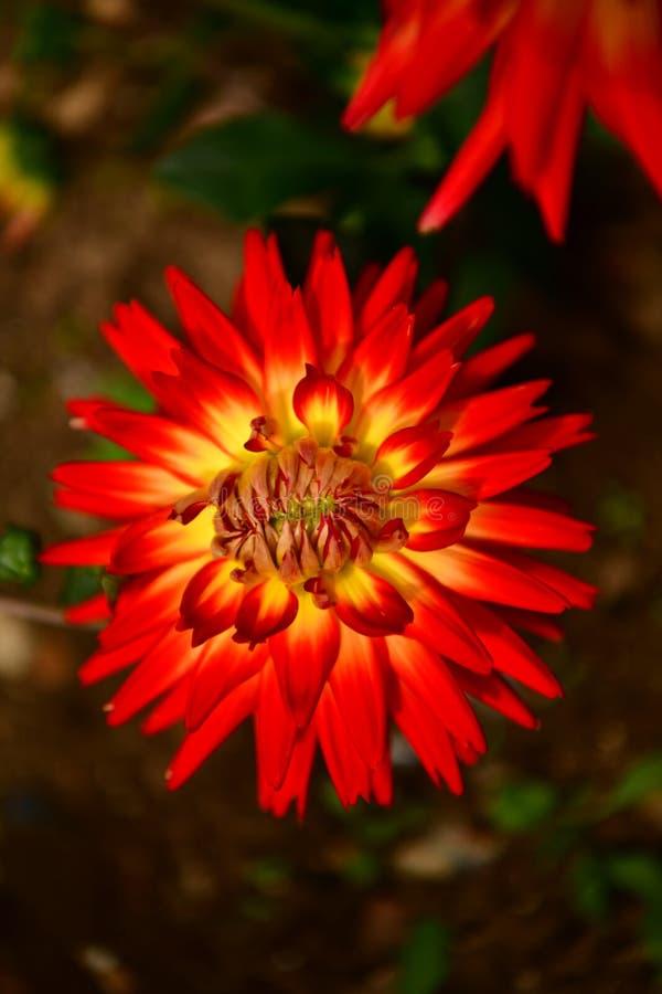 'E do wspaniaÅ do 'e do cultorumrozkwitÅ da dália x do jardim das dálias kwiaty fotografia de stock