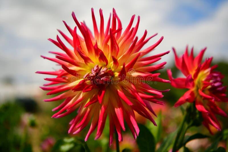 'E do wspaniaÅ do 'e do cultorumrozkwitÅ da dália x do jardim das dálias kwiaty imagens de stock