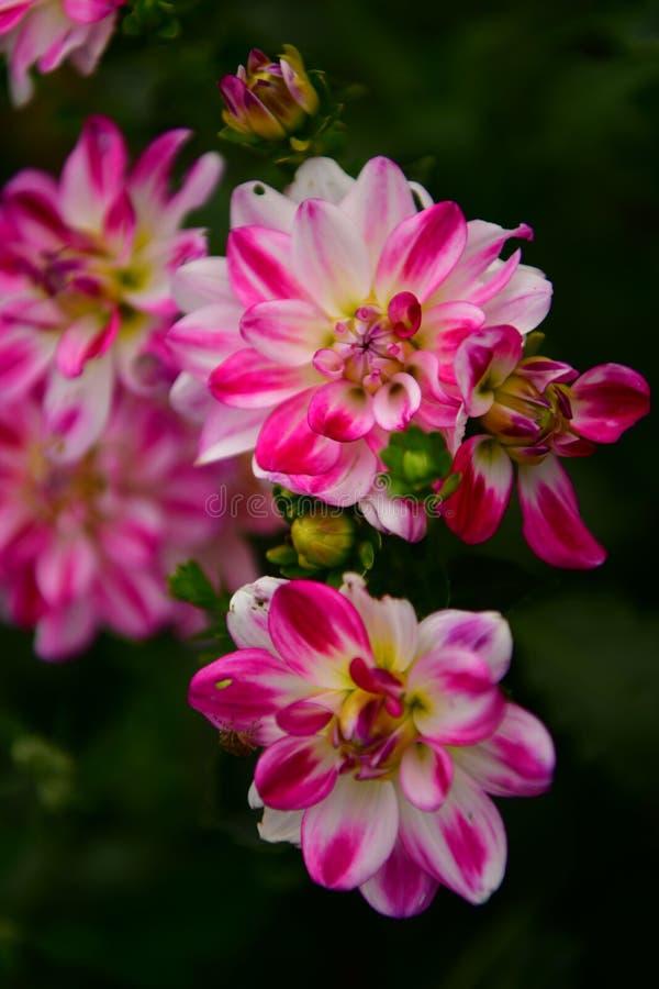 'E do wspaniaÅ do 'e do cultorumrozkwitÅ da dália x do jardim das dálias kwiaty fotos de stock
