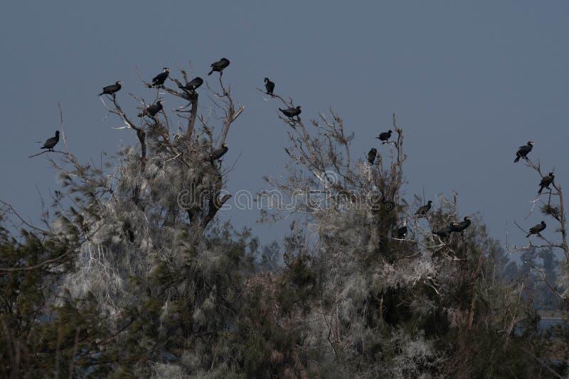 'Grote Aalscholver 'rust de boom lijdt royalty-vrije stock foto