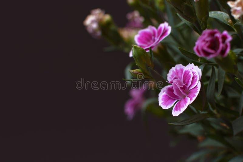 """""""Flowes chinensis di rosa """"o """"del Dianthus di arcobaleno con lo spazio della copia a sinistra su fondo scuro immagine stock"""