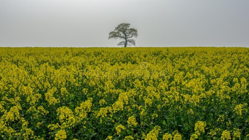 """""""L'albero solo"""" in un giacimento della molla del seme di ravizzone di fioritura fotografia stock"""